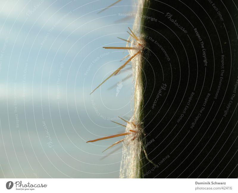 unrasiert Kaktus Pflanze trocken gefährlich grün Härchen Makroaufnahme Wachstum Licht Wüste Stachel Spitze Haare & Frisuren Defensive Detailaufnahme Natur