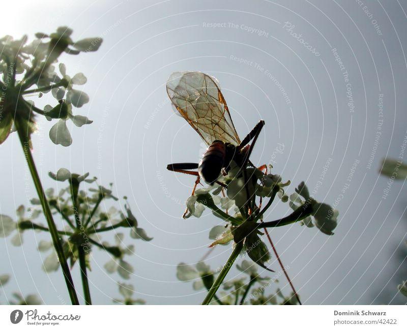 Sommerluft Insekt Tier Himmel Pflanze Flügel fliegen Detailaufnahme Natur