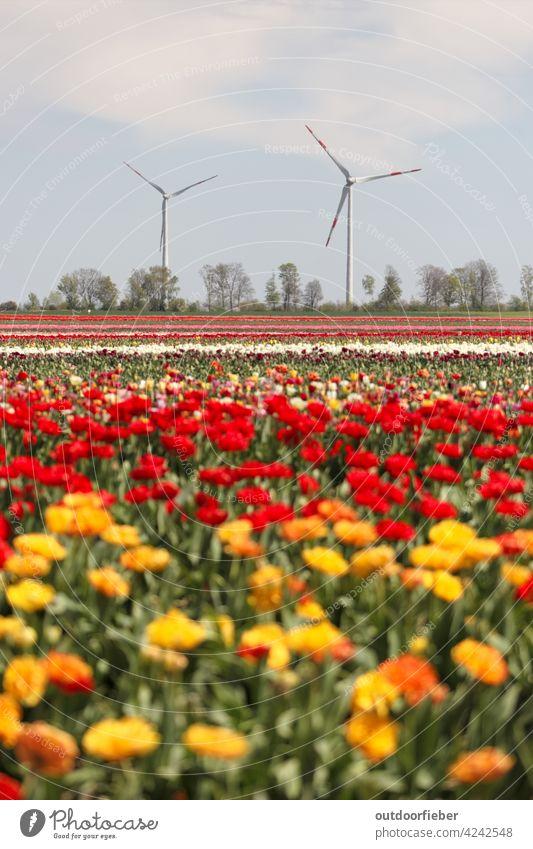 Windräder am Tulpenfeld Tulpenblüte Blume Farbfoto Pflanze Frühling Frühlingsgefühle Natur Blühend Frühlingsblume Tag Außenaufnahme bunt Windrad rot gelb