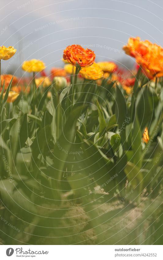 orangefarbene Tulpe im Tulpenfeld bunt grün unscharfer Vordergrund bokeh Tulpenblüte Blüte blühend blüht frisch farbenfroh Blume Blühend Frühling Farbfoto Natur