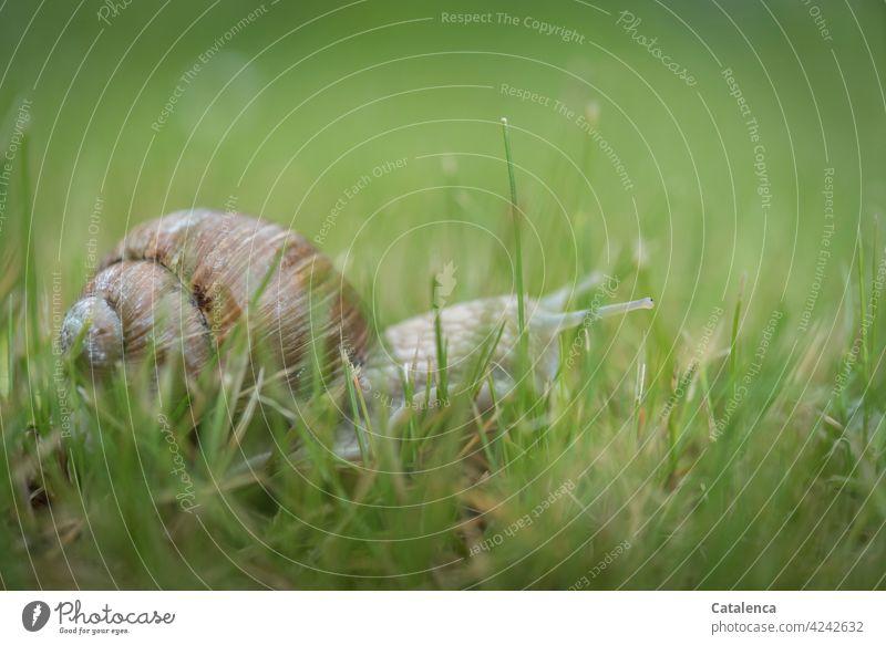 Eine Weinbergschnecke tastet sich vorsichtig durchs Gras Natur Fauna Flora Tier Schnecke kriechen Schneckenhaus Pflanze Grashalme Rasen Wiese Braun Grün Tag
