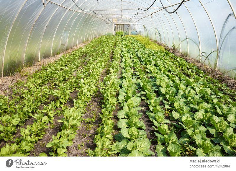 Bio-Gemüse, das in einem Polytunnel angebaut wird. Pflanze Ackerbau wachsen Gartenarbeit Grün Keimling Bauernhof Lebensmittel organisch Gewächshaus natürlich