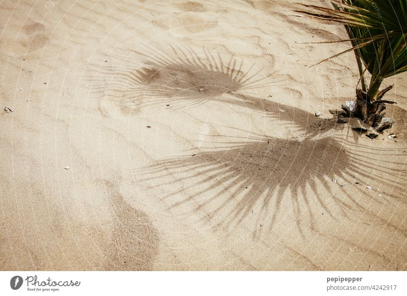 kleine Palme wächst im Sand Palmenwedel Palmenstrand Sandstrand Ferien & Urlaub & Reisen Urlaubsstimmung Urlaubsort Außenaufnahme Menschenleer Farbfoto Strand