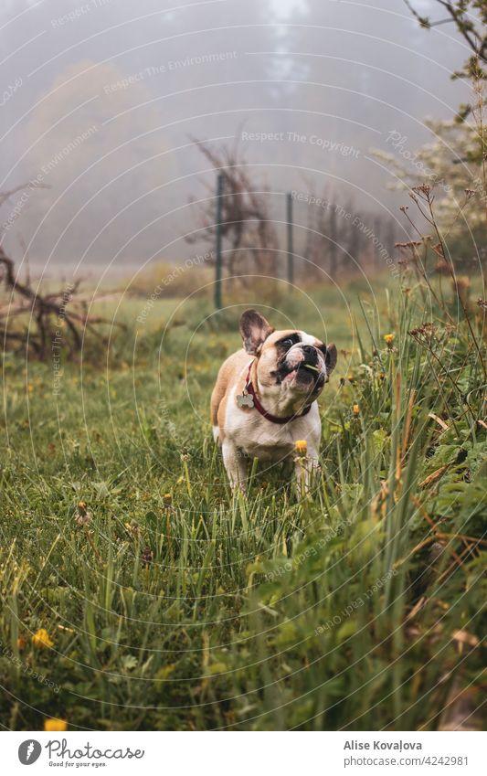 Hund frisst Gras Nebel Wiese französische Bulldogge essen neblig hungrig Hundeporträt Landschaft beobachten Farbfoto Tier Haustier niedlich Tierporträt
