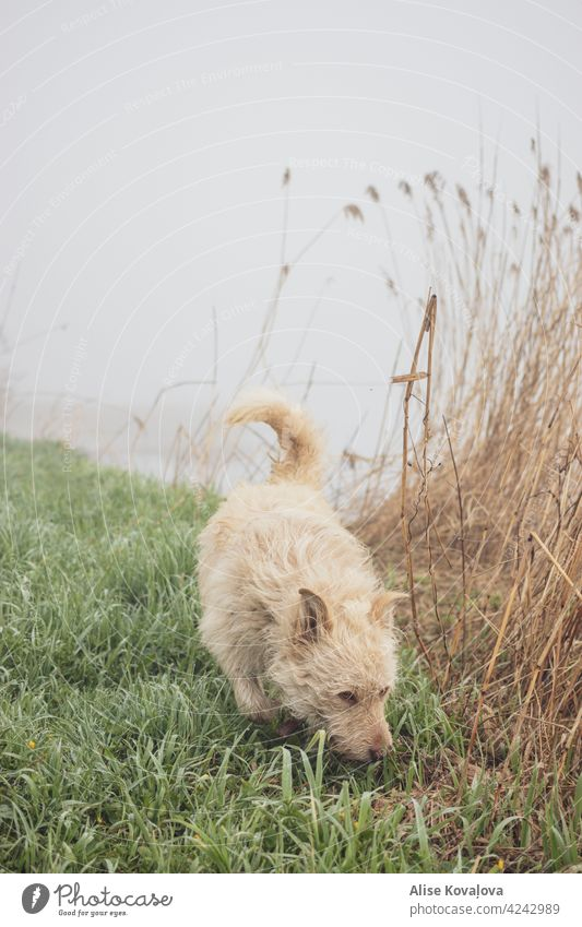 Frühmorgenspaziergang im Nebel Hund Natur Flussufer Landschaft laufen Spazierengehen mit einem Hund Säugetier Haustier Freiheit Tier Tierporträt schnüffelnd