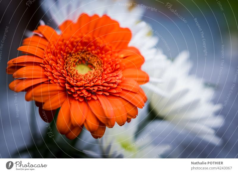 Orange Gerbera im Strauß Blumen orange Blumenhändler Blumenstrauß Natur Blüte Pflanze Nahaufnahme Makroaufnahme schön Detailaufnahme Blühend