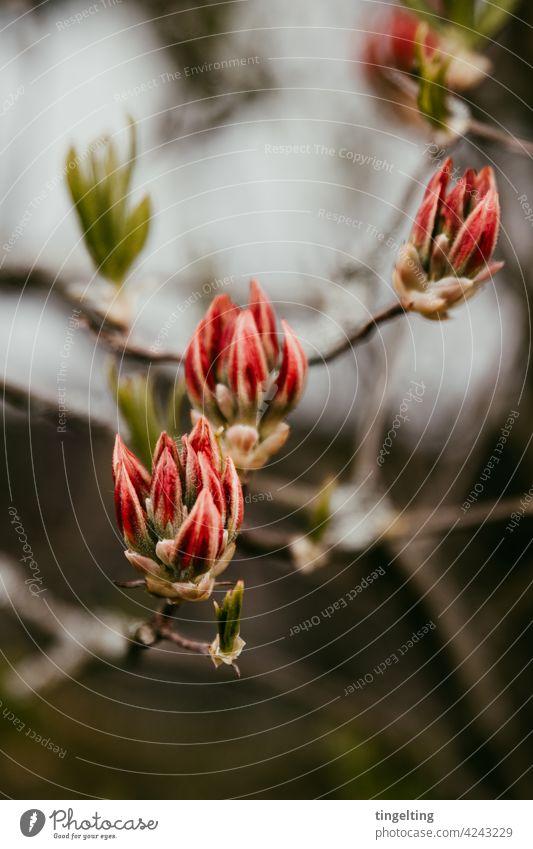 Rote Knospen der Alpenrose alpenrose knospen rot ast äste zweige grün blätter wachsen blühen fühling drei 3 natur pflanze vorgarten Gartenpflanze baum strauch