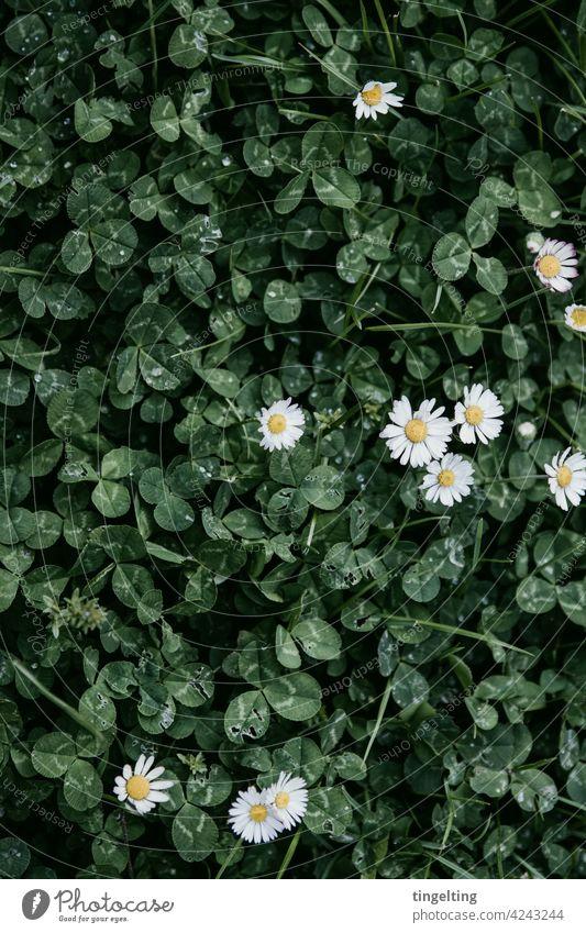 Klee und Gänseblümchen klee gänseblümchen weiß grün dunkel regentropfen boden von oben hintergrund natur wiese rasen blühen glück glückssymbol gedeckte farben