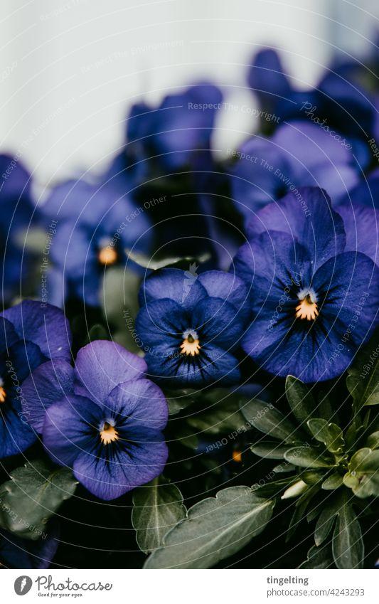 Dunkellila Stiefmütterchen blume blüte blühen frühling vorgarten Gartenpflanzen blumenkasten lila Blüte dunkel Gelbe Narzisse grüne augen Blick natur viele