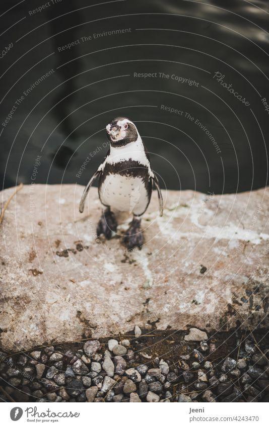 Next Top-Model Porträt Portrait Pinguin schwarz weiß gemustert Wasser Seeküste Küste Tier Tierporträt Tiergesicht tierportrait tauchen nass Vogel watscheln Meer