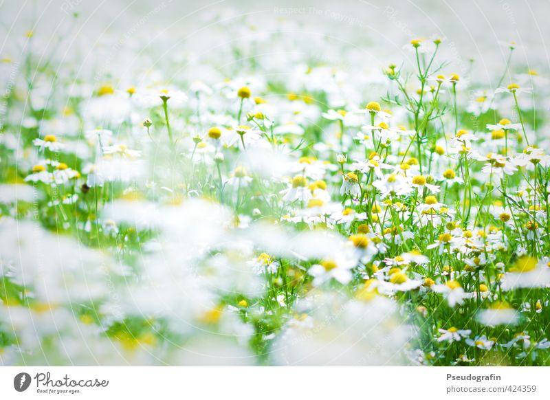 Kamille Natur Pflanze grün Sommer weiß Blume Landschaft ruhig Umwelt gelb Blüte Feld Ausflug Schönes Wetter Fahrradtour harmonisch