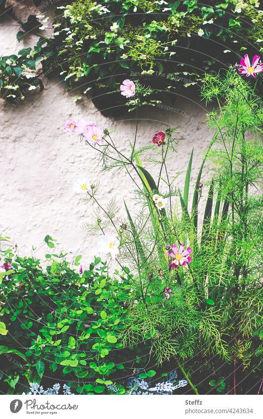 """Cosmea """"Sea Shells Red"""" im Bauerngarten Cosmea Sea Shells Red Kosmea Schmuckkörbchen Kosmeen Cosmos bipinnatus Zierpflanzen Gartenblumen Gartenpflanzen Efeu"""