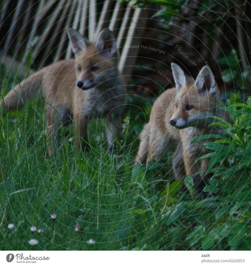 Geschwister Säugetier Fell Fuchs Tier Natur Wildtier Tierporträt wild Fähe Füchsin Raubtier Fleischfresser Garten Park jung Welpen braun niedlich klein