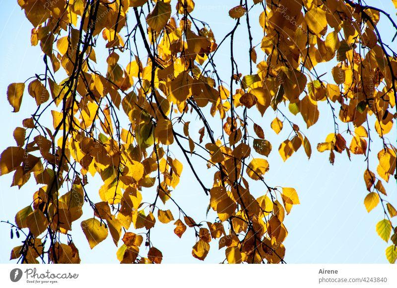 Farbwechsel Herbstlaub gold Sonnenlicht herbstlich Birke Zweige Wandel & Veränderung hellblau Himmel lichtvoll orange himmelblau Blatt leuchten Baum sonnig
