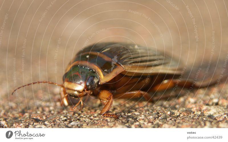 BUG Insekt krabbeln Verkehr Käfer Makroaufnahme Natur
