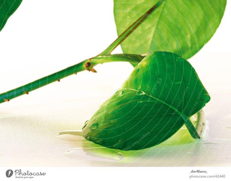 Leben Pflanze Blatt grün Reflexion & Spiegelung fein Neonlicht knallig Wasser Wassertropfen Blütenknospen Ast Stengel Nahaufnahme