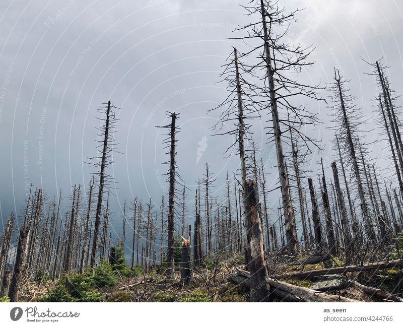 Waldsterben Fichten tot Natur Baum Umwelt Außenaufnahme Landschaft Menschenleer Klimawandel Forstwirtschaft Baumstamm Holz Totholz Borkenkäfer Tod Pflanze