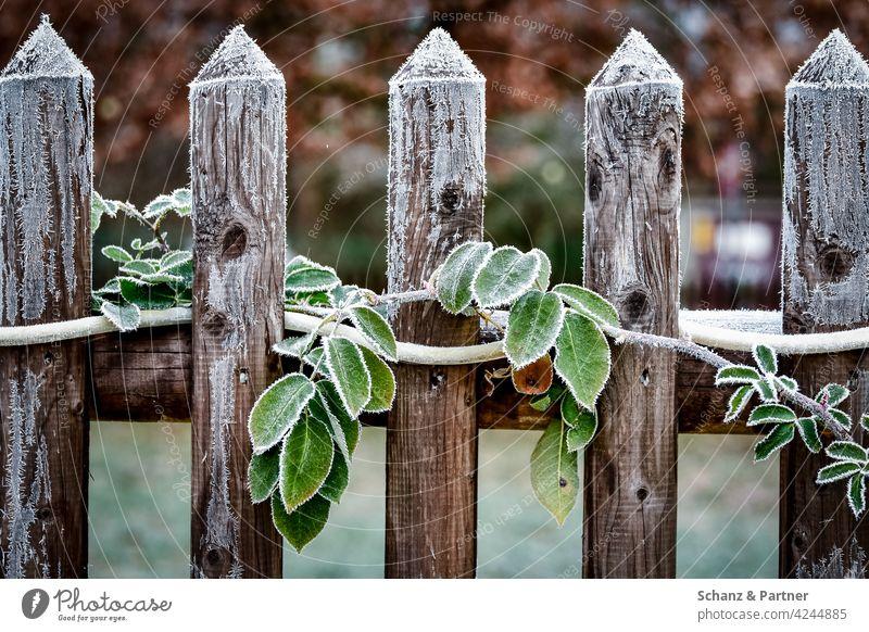 Gartenzaun mit grünen Blättern im Frost Ranke Winter Eisheiligen gefrohren verfrohren kalt Kälte Lattenzaun Holzzaun winterlich Kristalle gefroren frieren