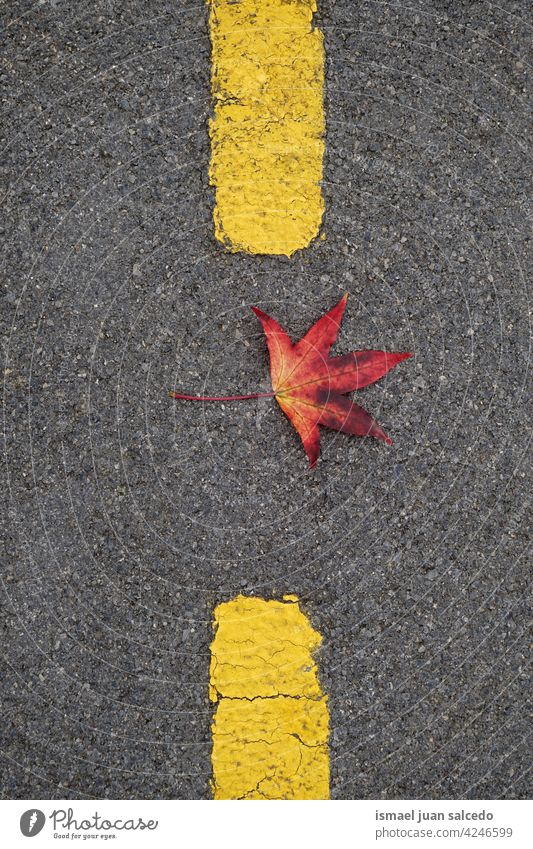 rotes Ahornblatt auf dem Boden im Herbst Saison Blätter Blatt allein vereinzelt Natur natürlich im Freien Hintergrund Textur texturiert Zerbrechlichkeit fallen