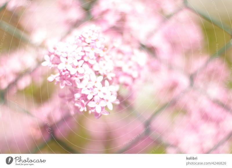 Rosa Fliederblüte schiebt sich durch grünen Maschendrahtzaun Fliederbusch Fliederstrauch Blüte Frühling Farbfoto rosa Unschärfe Duft Nahaufnahme
