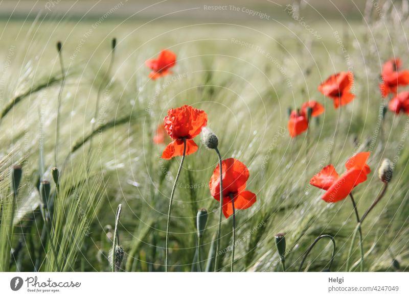 mal wieder Mo(h)ntag - Mohnblumen blühen in einem noch nicht reifen Gerstenfeld Mohnblüte Mohnknospe Blume Blüte Knospe Landwirtschaft Ackerbau Frühling wachsen