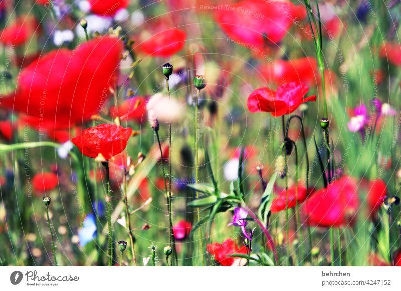 mo(h)ntags seh ich rot Mohnblume Unschärfe Blatt Gras Blühend Schönes Wetter sommerlich Landschaft Licht Nutzpflanze schön Wiese Wildpflanze Blütenblatt