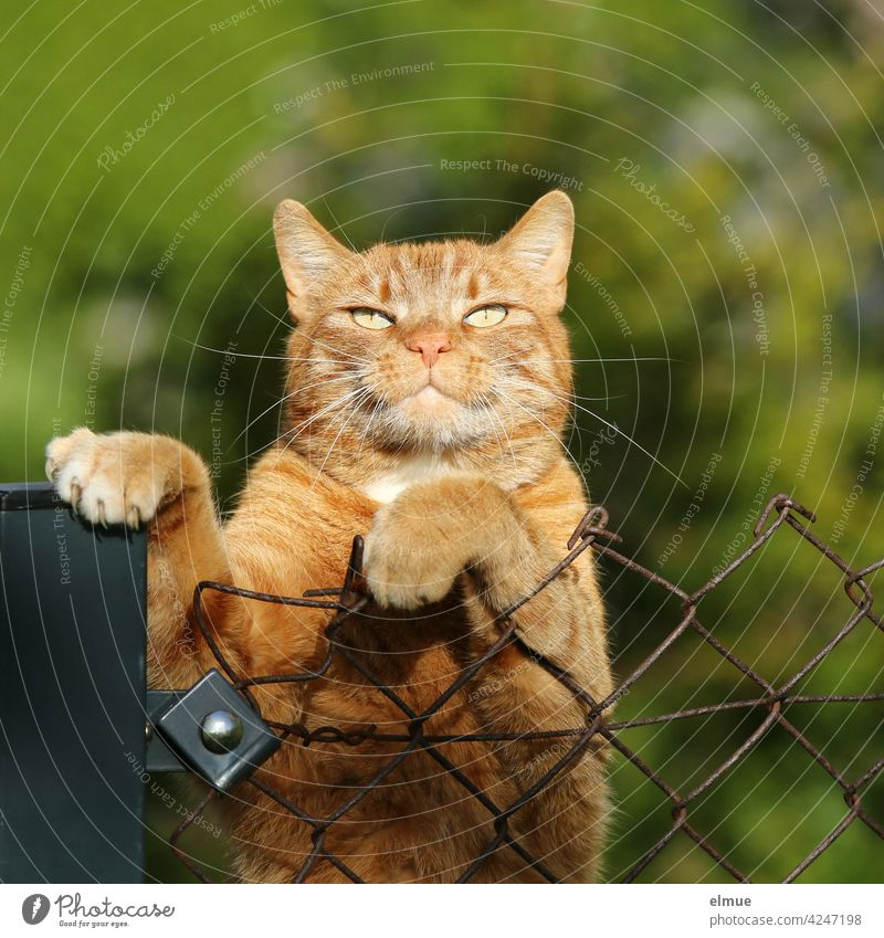 Ein roter Kater hat seine Vorderpfoten über den Maschendrahtzaun gelegt und blinzelt in die Sonne /  Schnurrhaare / Krallen / Katzenhaarallergie Mieze Haustier