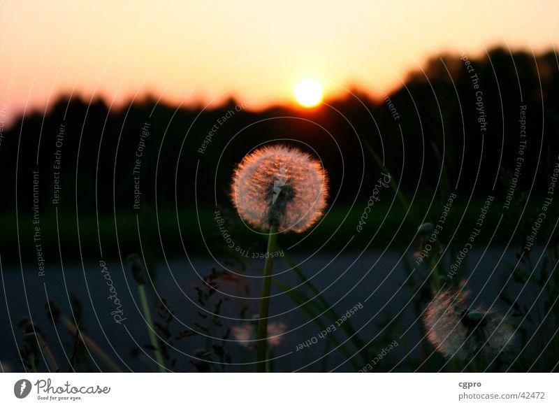 Löwenzahn im Sonnenuntergang Natur