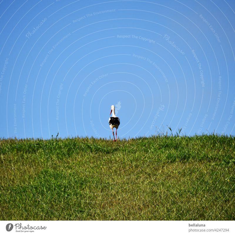Einsamer Weißstorch am Horizont. Storch Weißstörche Vogel Tier Außenaufnahme Farbfoto Wildtier Menschenleer Tag Natur Umwelt weiß schwarz Schönes Wetter