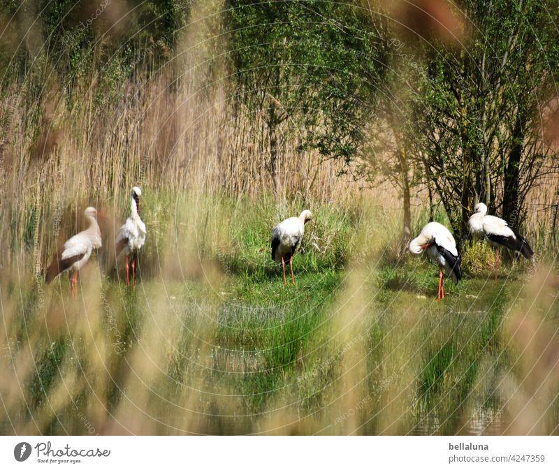 Kalif Storch - die Weißstörche putzen sich und schwatzen. Weißstorch Vogel Tier Außenaufnahme Farbfoto Wildtier Menschenleer Tag Natur Umwelt weiß schwarz