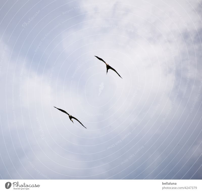 Komm, Weißstorchkumpel. Wir ziehen unsere Kreise. Storch Weißstörche Vogel Tier Außenaufnahme Farbfoto Wildtier Menschenleer Tag Natur Umwelt weiß schwarz