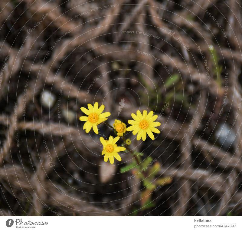 Frühlings-Greiskraut Korbblütengewächs Blume Pflanze Natur Sommer Blüte geblümt Garten Blütenblatt Geiskraut Frühlingsblume frisch Seil Netz Böschung