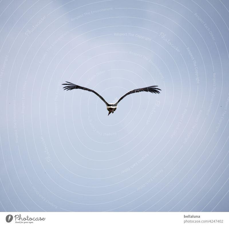 Adé, Weißstorch. Zieh deine Kreise. Storch Weißstörche Vogel Tier Außenaufnahme Farbfoto Wildtier Menschenleer Tag Natur Umwelt weiß schwarz Schönes Wetter