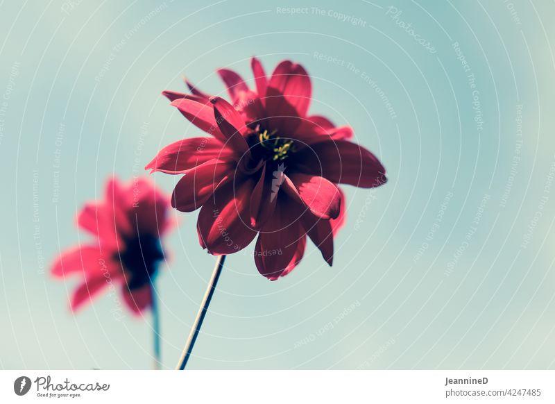 zwei rote Blumen vor dem Himmel Unschärfe Natur alleine gegen den Himmel Gefühle Tag Gedeckte Farben draußen Blüte Umwelt Pflanze Menschenleer Blühend Wachstum