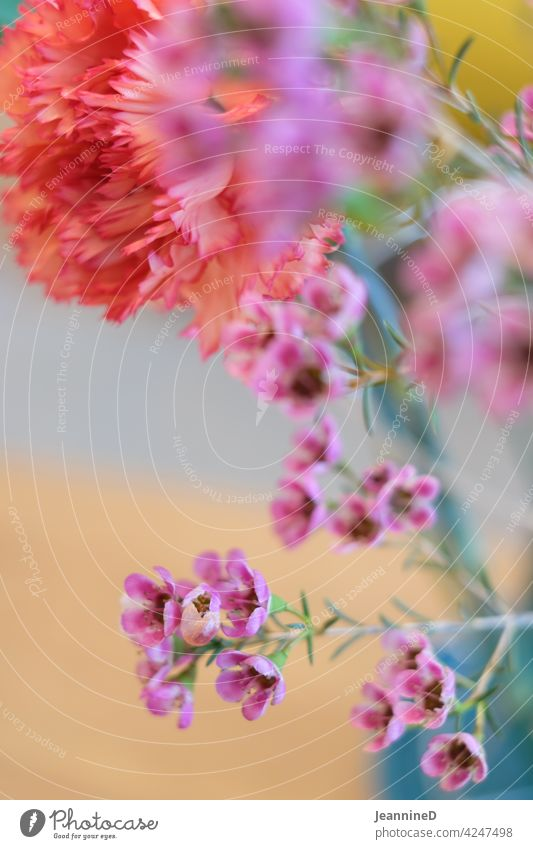 Nelken hinter Unschärfe kleinen Blüten rosa Blume schön unschärfe im vordergrund Blühend Farbfoto Nahaufnahme Frühling Innenaufnahme Natur bunt fröhlich Tag