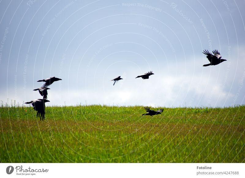 """Die Krähen fliegen zum Casting für den Film """"Die Vögel"""" von Alfred Hitchcock Vogel Tier Außenaufnahme Farbfoto Wildtier Natur Tag Menschenleer Umwelt Himmel"""