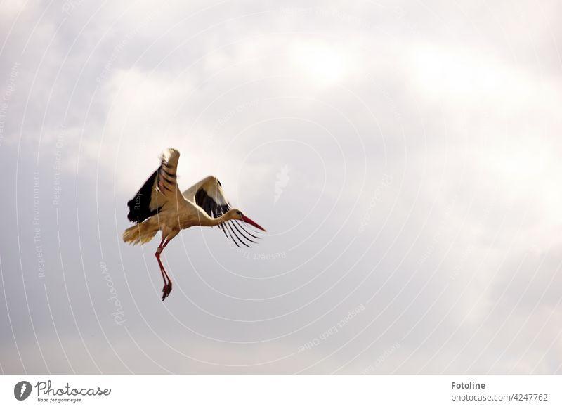 Storchenflug III Vögel Vogel Tier Außenaufnahme Farbfoto Wildtier Natur Tag Menschenleer Umwelt weiß Weißstorch Himmel schwarz Schönes Wetter blau