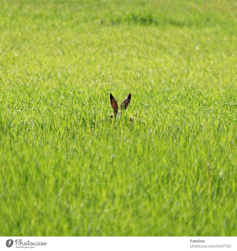 Aus dem Gras gucken zwei Hasenohren hervor. Ich würde mal sagen... schlecht versteckt! Wildtier Tier Außenaufnahme Farbfoto Natur Tag Menschenleer Umwelt