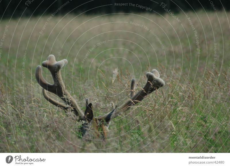 12ender* Hirsche Horn Trophäe Gras Wildtier Rothirsch Jagd im Wald