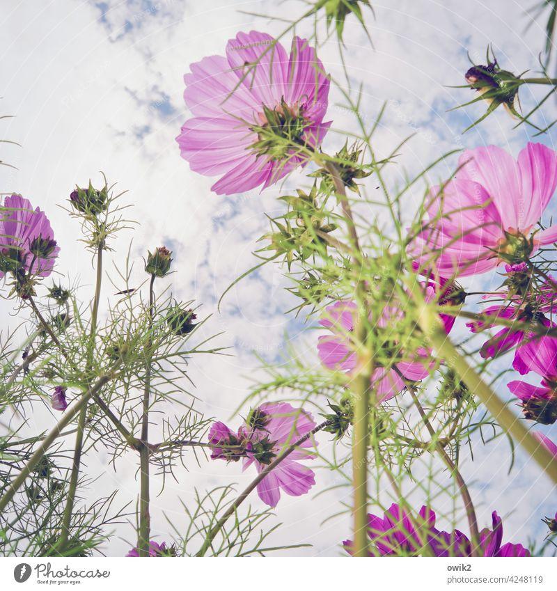 Frisch gewaschen Cosmea Schmuckkörbchen Garten Blume Blühend viele Wachstum Lebensfreude Frühlingsgefühle Neugier Kraft Begeisterung aufwärts Farbfoto