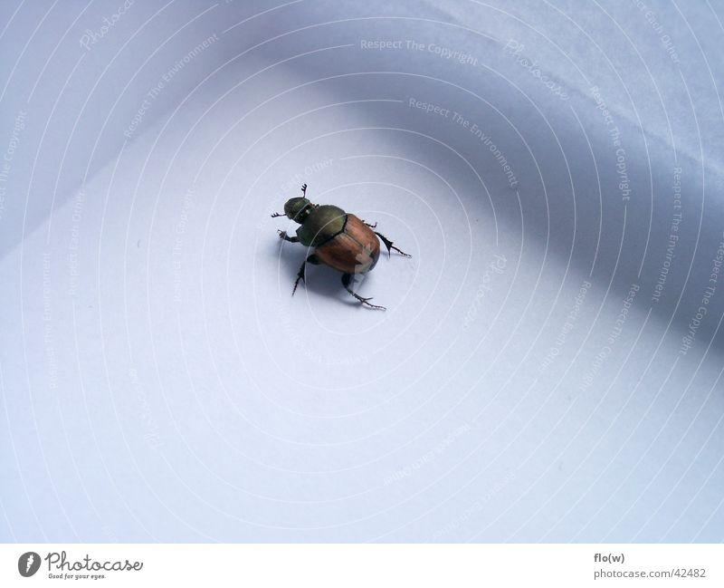 kleiner Maikäfer braun Käfer Makroaufnahme