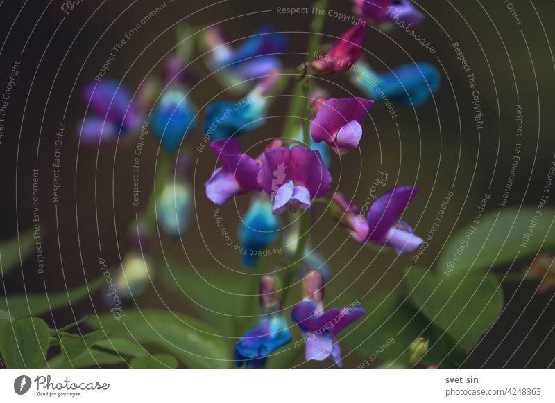 Lathyrus vernus, Frühlingserbse, Frühlingsplatterbse, Frühlings-Platterbse. Blau, lila, rosa Blüten von Lathyrus vernus auf einem grünen Wald Hintergrund Nahaufnahme im Frühling. Rosa lila Blumen Hintergrund.