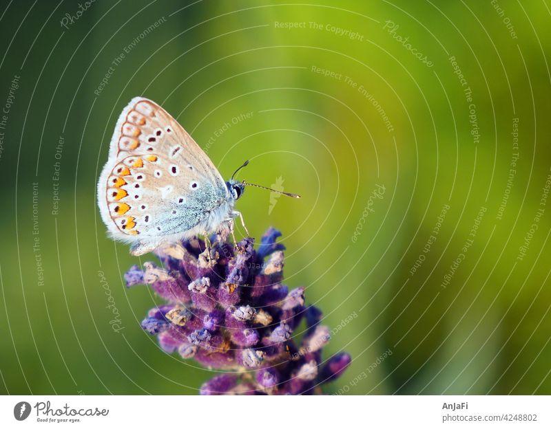 Bläuling an Lavendel Schmetterling bluete Sommer