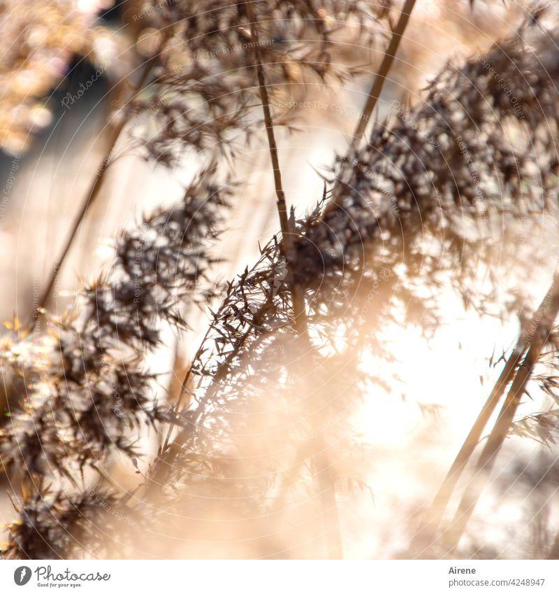 Rohr im Wind Schilfrohr Schilfgras weich golden braun Sonnenlicht Wasserpflanze Pflanze Schönes Wetter Lichtreflexe Seeufer glitzern leuchten Sonnentag sonnig