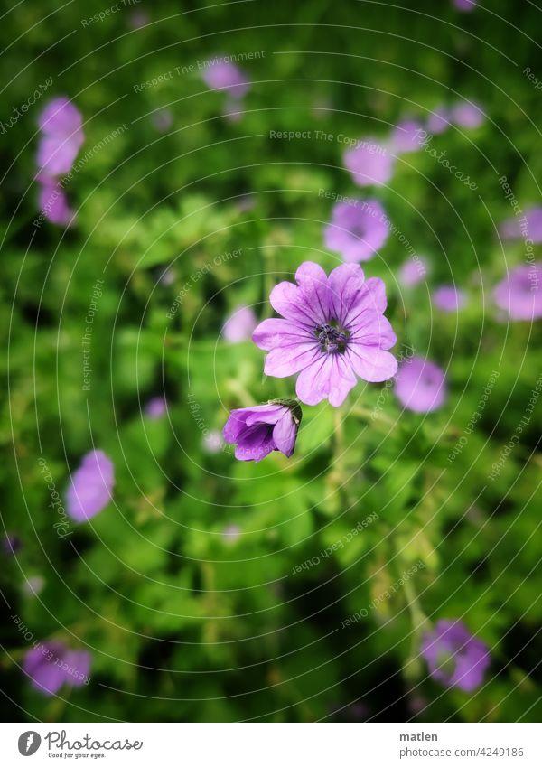 storchschnabel Storchschnabe Blüte Blätter Knospe Pflanze grün Außenaufnahme Frühling Schwache Tiefenschärfe Blühend mobil