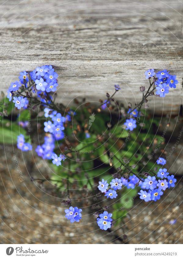 blauer montag violett Vergißmeinnicht Stein Erinnerung blühen wachsen Nahaufnahme Textfreiraum Holz Blume Blüte Bescheidenheit einfach Vergißmeinnichtblüte
