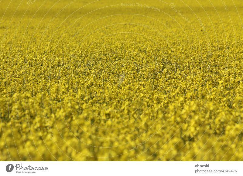 Rapsfeld gelb Blühend Sommer Landwirtschaft Umwelt Feld Leben Nutzpflanze Blüte Wachstum Rapsblüte
