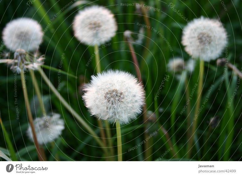 Pusteblume Natur Blume Berge u. Gebirge Dresden