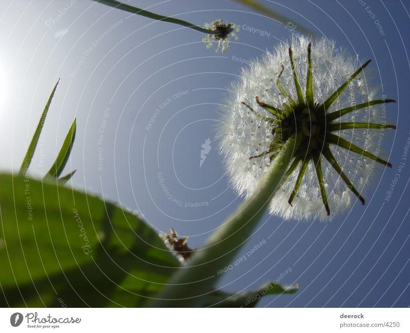 Löwenzahn aka Pusteblume Natur Himmel Sonne Sommer Wiese Gras Frühling