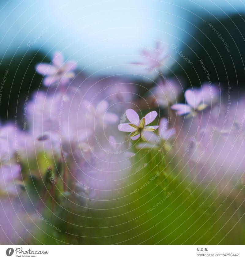 Rosa Blütchen mit schwacher Tiefenschärfe Blüte blüten rosa pink violett blütchen Frühling schön Blühend Blüten Natur Nahaufnahme Blumen Pflanze